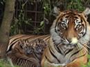 伦敦动物园里的两只小老虎跟公众首次见面