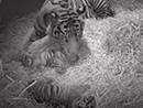 伦敦动物园里的双胞小老虎的日常生活...